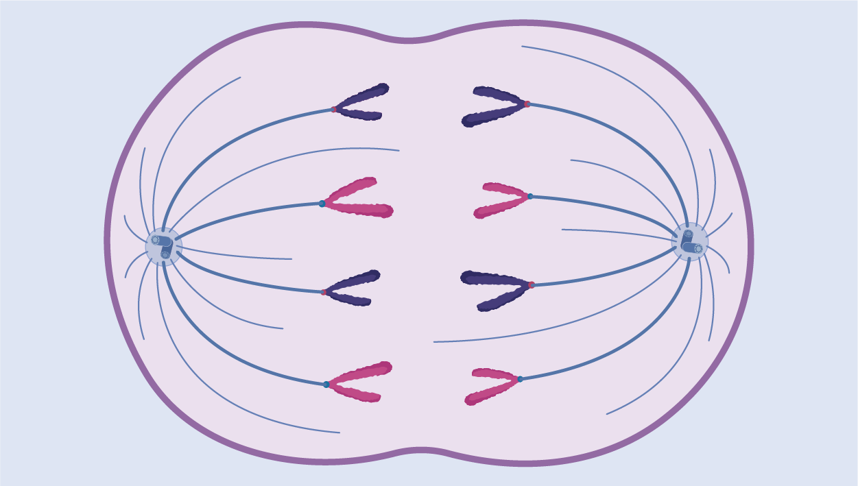 Mitosis and Meiosis icon category